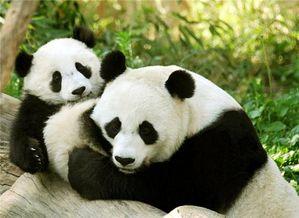 Сензация: пандите като източник на биогориво!
