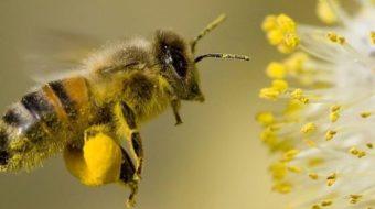 Учени: Пчелите са  най-важните същества на нашата планета!