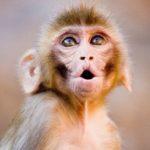 Инжектираната с оксфордска ваксина маймуна не се разболя от COVID - 19