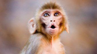 Инжектираната с оксфордска ваксина маймуна не се разболя от COVID – 19