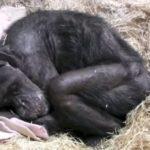 """Умиращо шимпанзе """"по човешки"""" се сбогува с биолога, когото познава 40 години (видео)"""