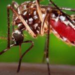 750 милиона трансгенни комари ще излетят в САЩ....
