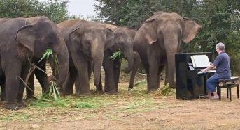 Слонове-меломани, които плачат от музиката на пиано (видео)